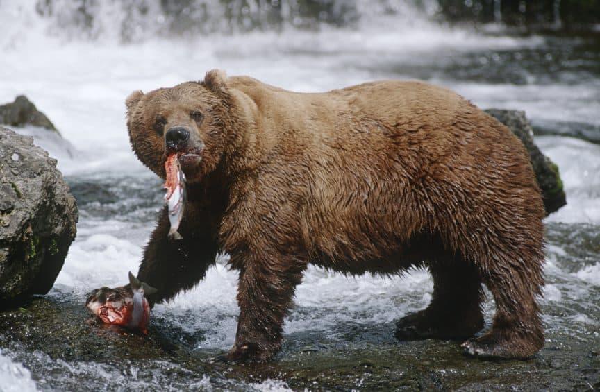 Cabin-Wildlife-Brown-Bear